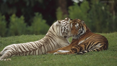 White Tiger Romance with Tiger