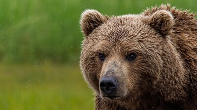 Wild Bear Animal HD Wallpaper