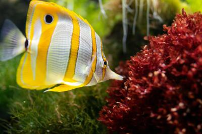 Yellow and White Strip Fish Eating Red Grass