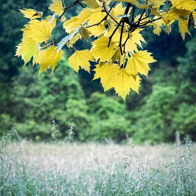 Yellow Meadow Leaves on Tree