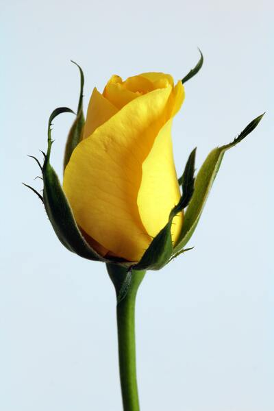 Yellow Rose Flower Mobile Photo