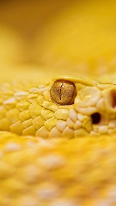 Yellow Snake Mobile Pic
