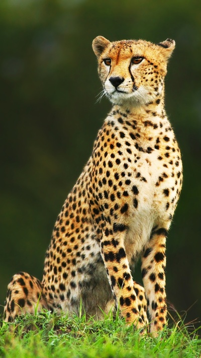 Young Leopard Animal Photo