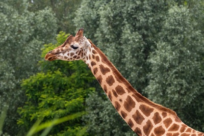 Zoo Giraffe Animal Pic
